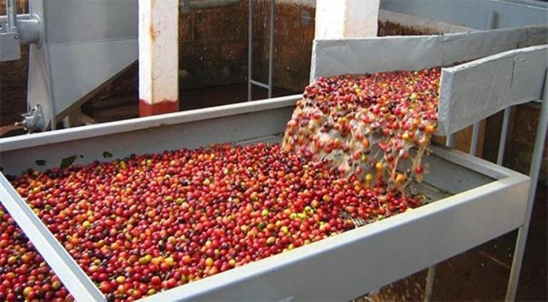 Giật mình những con số đen trong ngành cà phê Việt