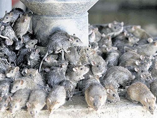 Chùm ảnh: Chuột và những bệnh truyền nhiễm có thể gây chết người - Giáo dục  Việt Nam