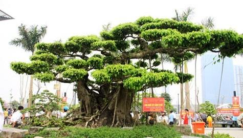 10 cây cảnh độc nhất vô nhị Việt Nam có giá hàng triệu đô