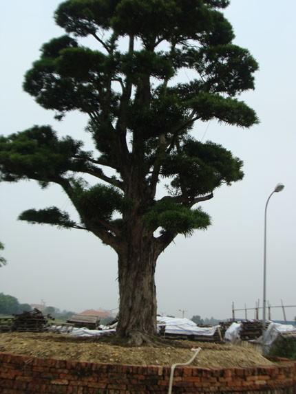 Thực hư vườn cổ tùng trị giá 1.000 tỷ đồng ở Vĩnh Phúc!