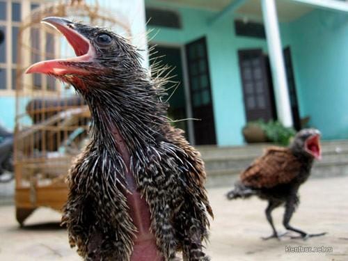 Bắt được đôi chim lạ mỗi ngày ăn 1kg thịt lợn, Tin tức trong ngày, chim la, doi chim, chim, dieu hau, hoa binh, to chim, bao, tin tuc, tin hot, tin hay