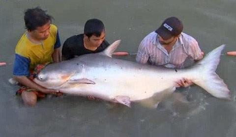 """Bắt được cá tra """"cực khủng"""" nặng 72kg, Tin tức trong ngày, ca tra khung, ca tra, ngu dan, ca tra dau, ca, bao, tin tuc, tin hot, tin hay"""