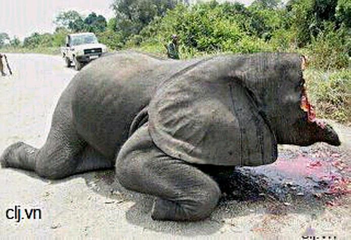 Phẫn nộ tột cùng hình ảnh chú voi bị chặt nửa đầu để lấy ngà