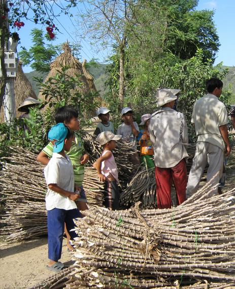 Thương lái lùng sục thu mua thân cây sắn ở Phú Yên