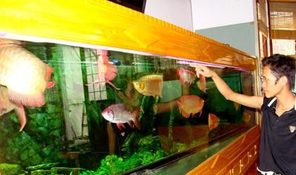 Có một thủy cung cá rồng bạc tỷ trong ngõ nhỏ ở Hà Nội