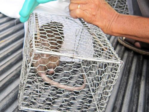 Phát hiện chuột cống mang vi rút gây suy thận ở TP.HCM